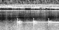 Tundra swans (f.tyrrell717) Tags: tundra swans whit bogs new jersy pine barrens