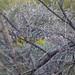 Arizona Posey Patch