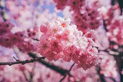 武陵農場 (aelx911) Tags: a7rii a7r2 sony carlzeiss fe1635mm 1635mm cherryblossom cherry flower nature bokeh taiwan taichung 台灣 台中 武陵農場 櫻花