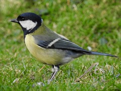 Great Tit (LouisaHocking) Tags: wild wildlife nature southwales wales cardiff forest farm british uk greattit tit bird gardenbird