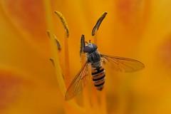 fly (Schwebefliege) (alfred.reinartz) Tags: insect insekt fly schwebefliege