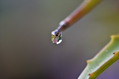 One Single Drop (roanfourie) Tags: smileonsaturday onesingledrop nikon d3400 tamron sp af 60mm diii dx raw gimp macro march 2019 flora nature rain drop lowlight