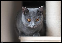 Ursus (2) (***RM***) Tags: kartouzská kočka cat cats animals portrait indoor nikon d850 nikkor 2470mm georglouisleclercdebuffon exotic mazlíček kočkadomácí chovatel feliscatus french francaise chartreux