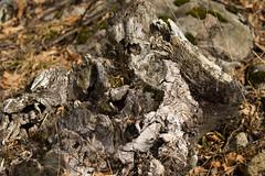 7K8A2527 (rpealit) Tags: scenery wildlife nature weldon brook management area tree stump