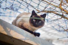 (antiloppe) Tags: cat chat south siamois cute sony
