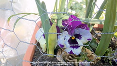 Double Daffodil bud & Pansy trough on balcony railings (from outside) 28th March 2019 (D@viD_2.011) Tags: double daffodil bud pansy trough balcony railings from outside 28th march 2019