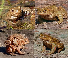 Erdkröten (anubishubi) Tags: lumixfz150 amphibien lurch froschlurch toad kröte erdkröte