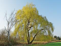 Weide bei Mörfelden (nordelch61) Tags: deutschland hessen mörfeldenwalldorf heimat baum wide feld natur zweige äste himmel farben forest tree wooden