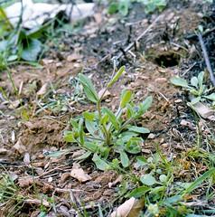 Myosotis arvensis (L.) Hill Acker-Vergissmeinnicht field forget-me-not (Spiranthes2013) Tags: myosotisarvensislhill ackervergissmeinnicht fieldforgetmenot myosotis vergissmeinnicht forgetmenot hill l pflanze plant pflanzendias scan diaarchiv diascan kfwolfstetter deutschland germany becker bayern bavaria unterfranken lowerfranconia lkmiltenberg 1991 nature natur kerneudikotyledonen asteriden asterids euasteriden euasterids rauhblattgewächse boraginaceae plantae plants angiosperms angiospermen eudicots eudicosiden boraginales rauhblattartige 6x6 6x6dias