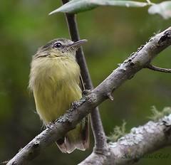 Picochato grande (anitareal) Tags: ave naturaleza bosques selvas foto anamariareal yourshotnatgeoargentina jujuy nikon árbol rama