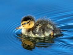 Baby Mallard (Ed Sivon) Tags: america canon nature lasvegas wildlife wild western water southwest desert duck clarkcounty vegas flickr bird henderson nevada