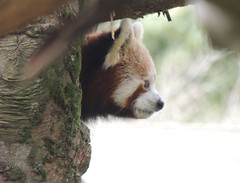 Heading Out (Kevin Pendragon) Tags: red panda brown tree trees sky clouds nature naturephotography cornwall national home outside green light sun colour day colours summer autumn paradisepark fur
