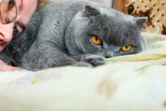 Emma (volodyainteres) Tags: cute looking cat pet domestic small mammal isolated animal beautiful adorable portrait breed scottish fluffy felino fur purebred studio eye furry kitten fold british little sitting face funny pretty grey