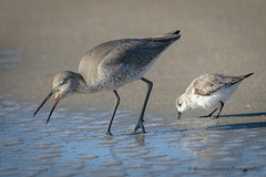 Willet (Kevin James54) Tags: catoptrophorussemipalmatus nikond850 tamron150600mm willet wilmington animals avian bird fortfisher kevingianniniphotocom