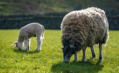 Do Not Disturb (DJNanartist) Tags: nikond750 nikon28300mm lakedistrict anartist stonethwaite eaglecrag sheep lamb