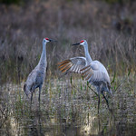 Two Sandhill Cranes after sunrise in Babcock Wildlife Management Area near Punta Gorda, Florida thumbnail