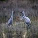 Two Sandhill Cranes after sunrise in Babcock Wildlife Management Area near Punta Gorda, Florida