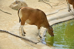 Chester Zoo Islands (1273) (rs1979) Tags: chesterzoo zoo chester islands banteng
