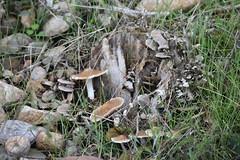Setas (esta_ahi) Tags: mipanas somontano somontanodebarbastro aragón spain españa испания huesca setas fungi