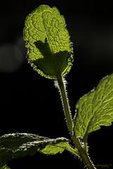 #Brew (aenee) Tags: aenee brew nikond7100 sigma105mm128dgmacrohsm macromondays mint munt refreshing verfrissend tea thee brouwen leaves bladeren macro 3inch 75cm backlight tegenlicht rimlight randlicht bokeh plant green groen vert dsc9431 20190203