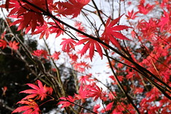 (b-nik) Tags: maple red autumn leaves acer nature fall tree fujifilm x100f