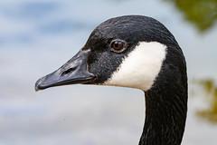 Canada Goose Portrait (phoca2004) Tags: stowlake z6 nikon sanfrancisco canadagoose birds goldengatepark birding brantacanadensis california unitedstatesofamerica us