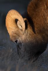 Bighorn Ram at Sunset (markvcr) Tags: bighorn sheep ram rockies rocky mountains nature wildlife canada alberta coth5