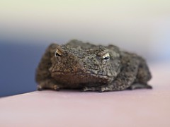 Giant Asian Toad (davidpetergibbins) Tags: