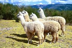 Four Llamas (jimarx) Tags: jimarx peru cusco bolivia southamerica llamas alpaca