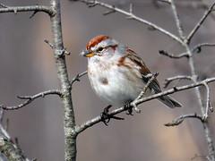 American Tree Sparrow RP IMG_9110 (Jennz World) Tags: ©jennifermlivick americantreesparrow sparrow riversidepark cambridge ontario canada bird