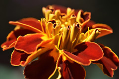 Marigold (roanfourie) Tags: flickrlounge weeklytheme itsacolourfulworld nikon d3400 dx gimp february 2019 afrikaners marigold flower flowers tamron 60mm f2 dc