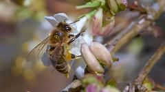 bei der Arbeit ... (Konrads Bilderwerkstatt) Tags: tier insekt biene guido konrad baum blüte pflanze februar 2019 himmel bokeh natur umwelt sony alpha 77m2 sigma 105f2 8 foto bild makro