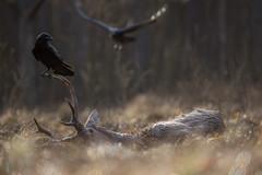 1-2 (kurdeniewiemco) Tags: kruk jeleń fotografia przyroda natura zwierzęta las animals raven wildlife photofraphy nature