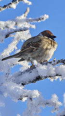 Sparrow in coldness (Kaarela) Tags: sparrow winter cold frozen oulu finland sky branches