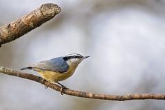 male in sunlight ( explored ) (G_Anderson) Tags: nuthatch missouri winter migrator irruption backyard birding
