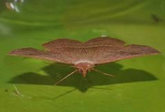 Odd-bod geometrid moth Epidesmia sp Oenochrominae Geometridae Airlie Beach rainforest P1460903 (Steve & Alison1) Tags: oddbod geometrid moth epidesmia sp oenochrominae geometridae airlie beach rainforest