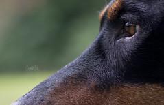 Up close and personal... (Riley-Dobe) Tags: closeup 5014 tokina opera nikon doberman dog fur eye riley d500 beautiful black