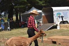 DSC_5109 (VAYG) Tags: vay vytec paraders aaa victorian alpaca association youth australian australia iar 2019 alpacas alpacalypse crystal cove profarma jay hall athena melbourne show redhill red hill