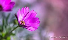 Under the Sun (frederic.gombert) Tags: sun flower flowers bloom blossom spring summer light daisy pink red white macro nikon