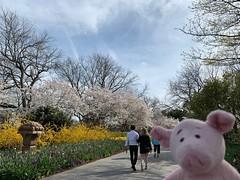 Dave and cherry blossoms (pianoforte) Tags: dallas arboretum dallastx dallasarboretumandbotanicalgarden flowers dallasblooms spring 2019 spring2019