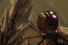_N4A8542 (edmundo.ortiz59) Tags: alas bokeh insecto macro libélula