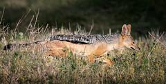 Stealth Mode (helenehoffman) Tags: canid omnivore kenya conservationstatusleastconcern mammal canismesomelas jackel blackbackedjackel lewawildlifeconservancy africa animal