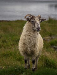 A goat named Tor (Siggi007) Tags: goat animal animaux canoneos6d focus dof depthoffield blure water grass outdoors portrait pose green colors natur nature
