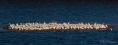 20190408-DSC_7460.jpg (GrandView Virtual, LLC - Bill Pohlmann) Tags: bird americanwhitepelican wisconsin wildlife waterfowl stcroixriver northhudsonwi