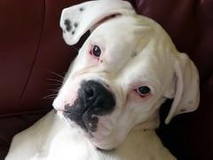 Bella (Jackal1) Tags: boxer dog canine pet whiteboxer breed