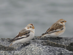 Snow Buntings - Tsawwassen, BC (Michael W Klotz - The Bird Blogger.com) Tags: snow bunting plectrophenaxnivalis ferry jetty granite rock white brown black pair grey gray fleck britishcolumbia canada bc bird blogger
