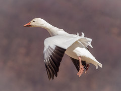 Snow Goose landing (tresed47) Tags: 2019 201901jan 20190107bombayhookbirds birds bombayhook canon7d content delaware flightshot folder general goose january peterscamera petersphotos places season snowgoose takenby us winter