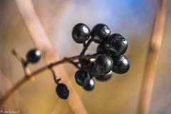 Winter Macro (Jan Vykypel) Tags: winter macromondays berry tree macro sony alpha a7ii voigtlander apo 110mm lanthar