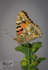 Painted Lady - Vanessa cardui ( BlezSP) Tags: painted lady vanessa de los cardos vanesa cardui migration migratory butterfly canarias gran canaria