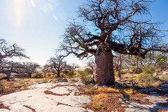 It lives on Rock _6944 (hkoons) Tags: kubuisland kukomeisland lakemakgadikgadi lekhubuisland makgadikgadipan nationalpark nxaipannationalpark nxaipan southernafrica suapan africa baobab botswana sowa sua tree ancient arbor bloom blossom branch branches bud buds canopy color flora flower green growth large leaf leaves limb limbs old outdoors pan panorama roots soil stem sun sunshine trees trunk nxai